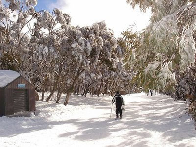 Path Through the Snow Gums