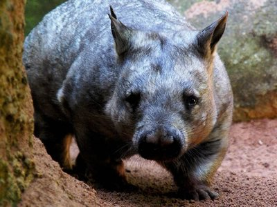 Wombat at Perth Zoo