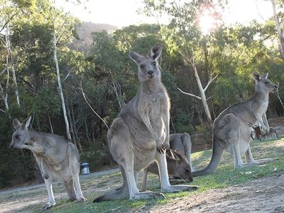 Kangaroos in Halls Gap Park