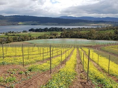 Pinot Noir Plantings, Stefano Lubiana Wines
