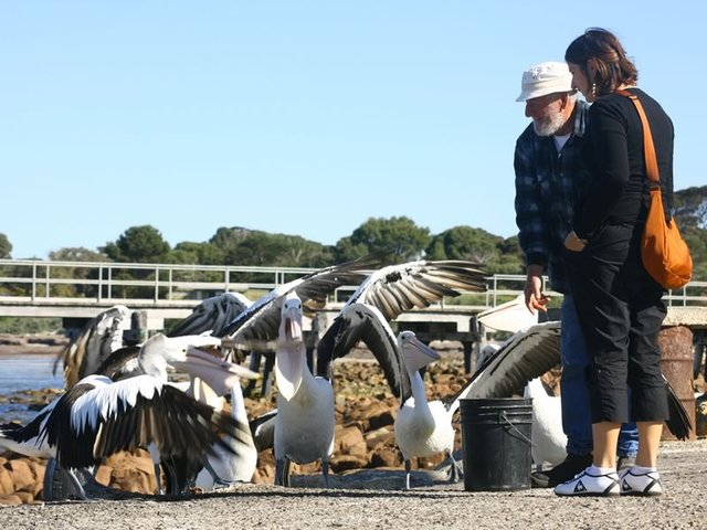 Feeding the Pelicans, Emu Bay