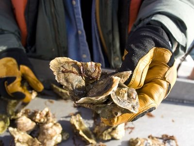 Shucking Coffin Bay Oysters