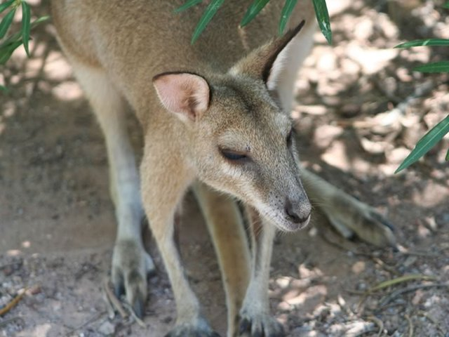 Agile Rock Wallaby