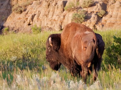 Bison in the Prairie Grasses
