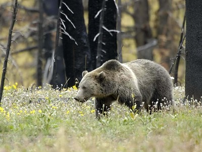 A Grizzly Bear Strolls Through Yellowstone