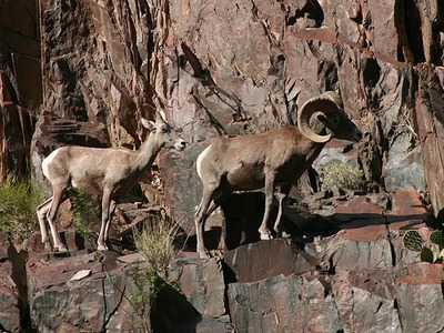 A Pair of Bighorn Sheep Navigate an Inner Gorge Ledge