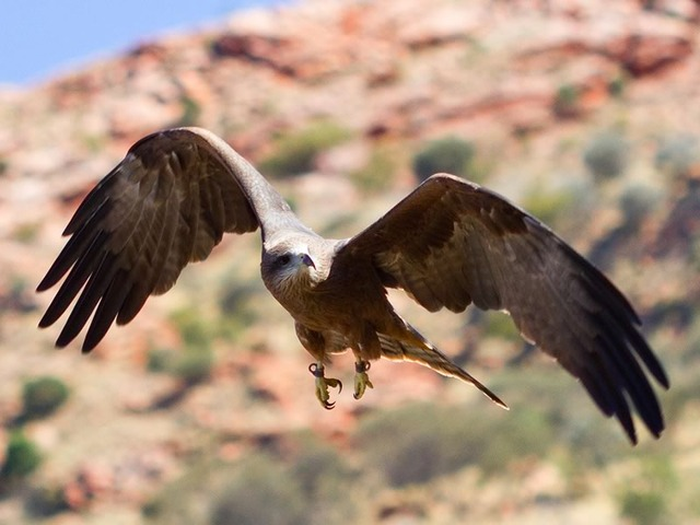 Black Kite at the Alice Springs Desert Park
